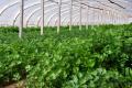 Найбільший попит на зелень спостерігається в зимові й літні місяці