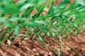 Жарка та волога погода сприяла масовому розвитку бур'янів, хвороб та шкідників у посівах сільгоспкультур