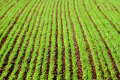 Озима пшениця найбільше уражена септоріозом