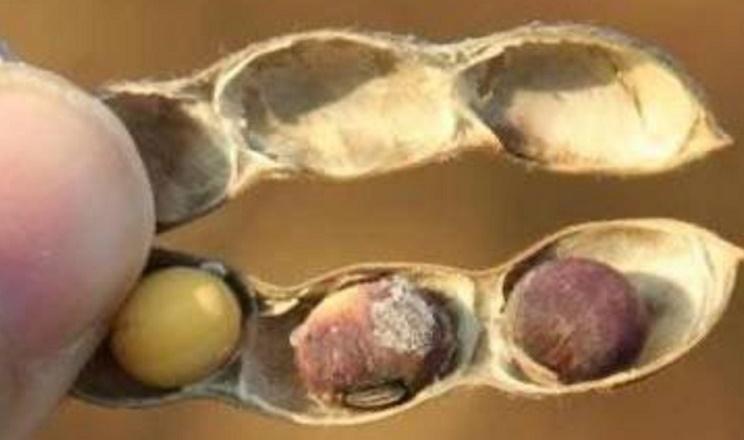 На елеваторах «Волинь-зерно-продукту» виявили нове карантинне захворювання сої
