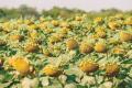 У Франції істотно скоротяться посіви низки культур, якщо генно-редаговане насіння прирівняють до ГМО