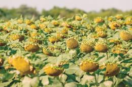 Учені порадили, як уберегти посіви соняшнику від білої гнилі