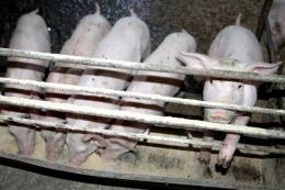 Вакцинопрофілактика є специфічним захистом свиней на відгодівлі проти актинобацилярної плевропневмонії