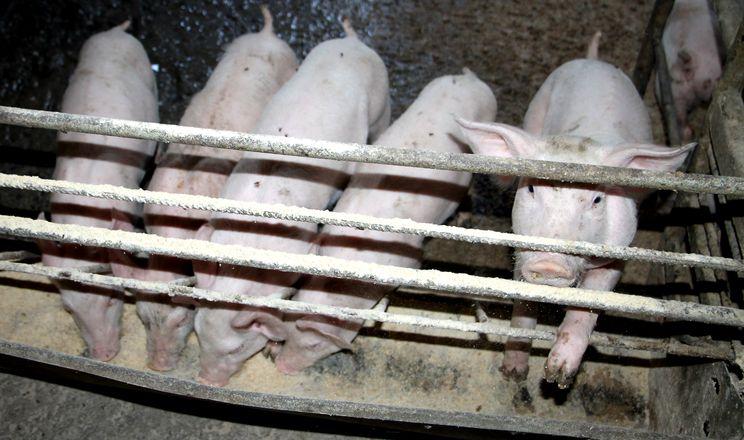 «Антонов-Агро» практикує суху годівлю свиней