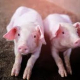 Вакциновані від ілеїту свині мали більшу вагу, ніж невакциновані