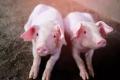 Селекційна робота у світовому свинарстві зосереджена на генетичному вдосконаленні порід
