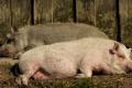 В Україні розробили програму доступного страхування від АЧС та інших хвороб свиней