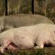 Для малих і домашніх свиноферм біобезпека є вузьким місцем