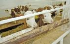 Для профілактики BRDC вдаються до вакцинації корів, ялівок, телят і молодняку