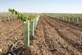 Молодий виноград захищають від бур'янів лише сапою