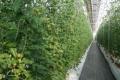 Ґрунт не потрібен: у Японії винайшли інноваційних спосіб вирощування фруктів та овочів