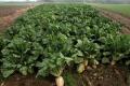 Результати партнерства: «Старокостянтинівцукор» наростив переробку цукрових буряків