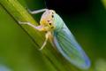 Цикадки можуть поширитись в умовах теплої осені