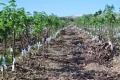 «Агрофірма «Колос» вирощує саджанці волоського горіха на підщепі чорного