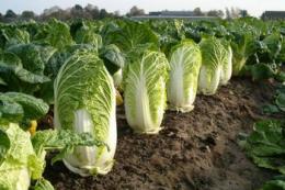 Волинські фермери після ранньої картоплі вирощують пекінку