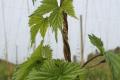 У теплицях шпагат з кокосового волокна може замінити поліпропіленовий