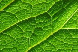 Підвищити урожайність сільгоспкультур може коригування температури листка, - дослідження
