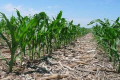 Технологія ноу-тілл посприяла врожайності кукурудзи на Полтавщині