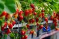 Фермер збирає 29 т суниць садових із 60 соток теплиць