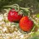 Науковці довели ефективність мульчування полуниці від  бур'янів та фітофторозу