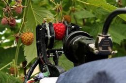 У Великій Британії випробовують робота-збирача на малині