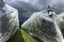 Черешні захищають від шкідників інноваційною сіткою