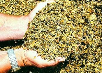 Визначено оптимальне співвідношення інгредієнтів в амарантово-кукурудзяному силосі