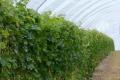 Виноград у високих тунелях менше пошкоджується шкідниками та має більшу врожайність