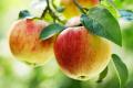 Як метеорологічні умови впливають на вміст вітаміну С у яблуках