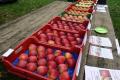 Університет Унібо представив 5 нових зимових сортів яблук