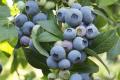 Виробники лохини найбільше акцентують на якості ягоди