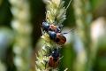 Наступного року ймовірне зростання чисельності хлібних жуків у посівах озимих зернових