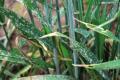Борошниста роса сильніше уражує посіви пшениці озимої ранніх строків сівби, ніж оптимальних