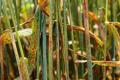 Захистити озиму пшеницю від іржастих хвороб допоможе комплекс заходів