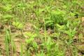 Засміченість бур'янами парового поля за весняно-літній період зменшується