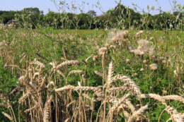 Підраховано, скільки фермер втрачає зерна пшениці озимої через забур'яненість посівів