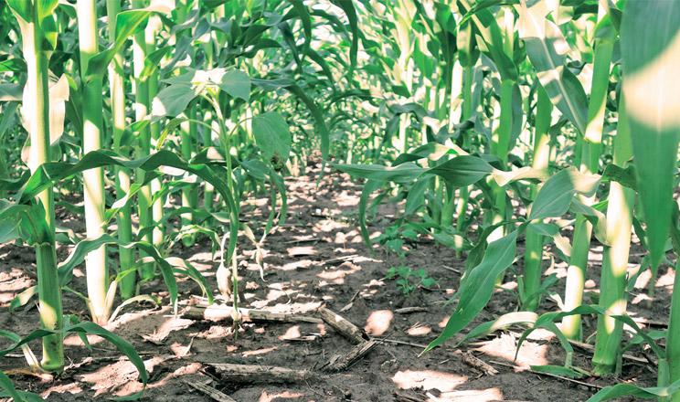 Ефективний і доступний гербіцидний захист посівів кукурудзи