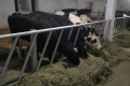 В Аграрному комітеті анонсували розроблення оновленої програми держпідтримки тваринництва