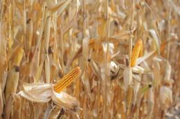 Урожайність кукурудзи в «Міжліссі» на Вінниччині подекуди сягає 13 т/га