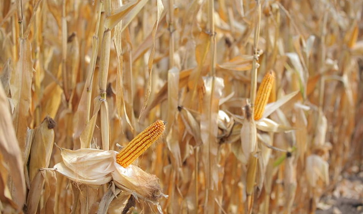 Урожайність кукурудзи в ІМК сягнула 9,7 тонн/га