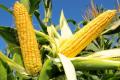 Ціни на кукурудзу знову прямують вгору