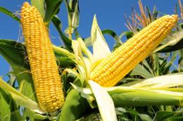 Експорт кукурудзи перевищив 10 млн тонн