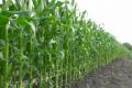 За поливу у зерні кукурудзи збільшується вміст крохмалю, білка та жиру