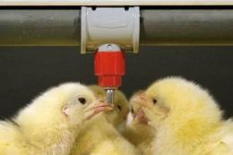Основні правила успішної вакцинації птиці з питною водою