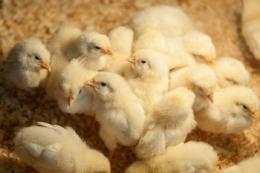 Додавання розчинних волокон до раціону птиці покращує ефективність травлення