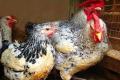 Бірківські м'ясо-яєчні кури дають до 220 яєць на рік