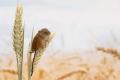 Як обмежити чисельність мишей у полі профілактичними заходамии