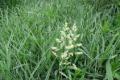 На перезволожених землях Полісся найдоцільніше вирощувати очеретянку звичайну, - дослідження