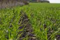 Насамперед захищають задовільні посіви озимини