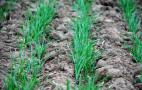 Із середини лютого озимину радять підживити   азотом